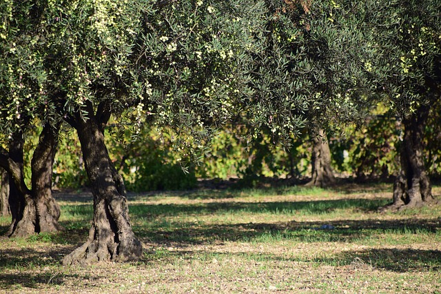 Destructive olive tree pat welsh organic and southern for Pruning olive trees in pots