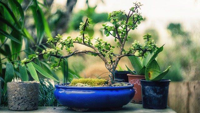 bonsai photo