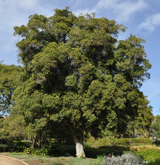 pittosporum-undulatum-tree