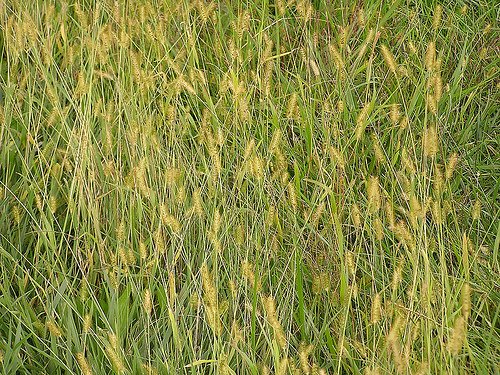 Yellow Foxtail photo