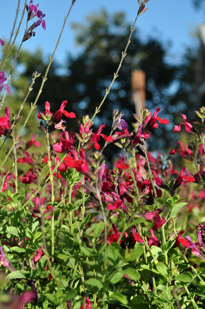 Salvia Greggi photo