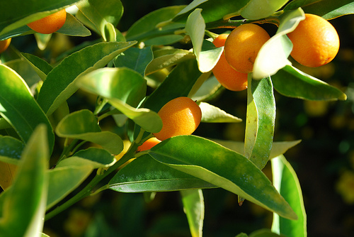 Kumquat photo