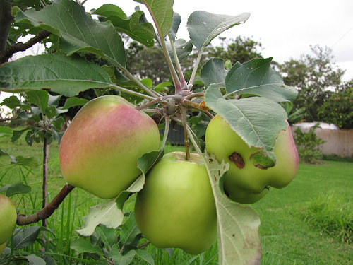 Dorsett Apple Tree Pat Welsh Organic And Southern California
