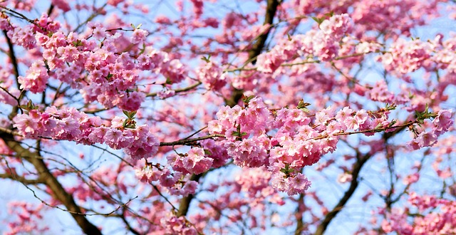 How To Grow A Cherry Blossom Tree With Pictures Wikihow