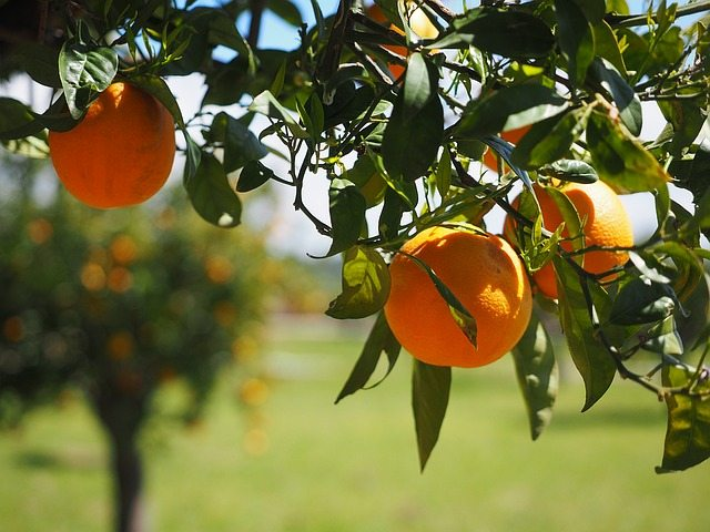 Growing Citrus Trees On Drip Pat Welsh Organic And
