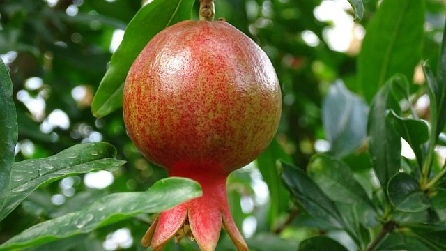 How To Make A Pomegranate Tree Bear Fruit Pat Welsh Organic And